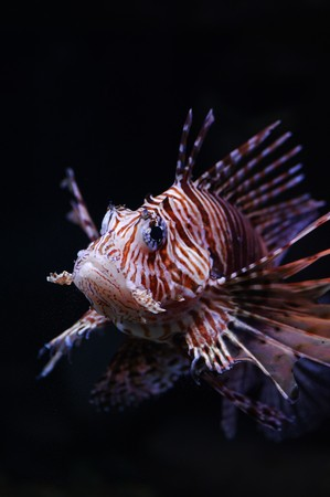 Lionfish in a Moscow Zoo aquarium Stock Photo - 8101031