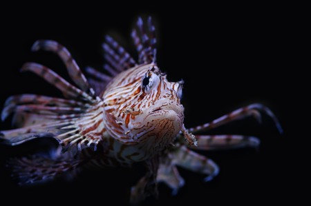 Lionfish in a Moscow Zoo aquarium Stock Photo - 8100906