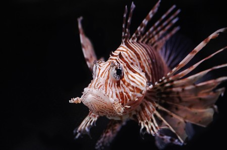 Lionfish in a Moscow Zoo aquarium 版權商用圖片 - 8101223