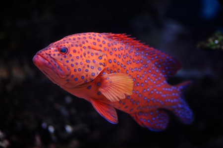 Red groper (Cephalopholis miniata) in a Moscow Zoo aquarium Stock Photo - 8101032