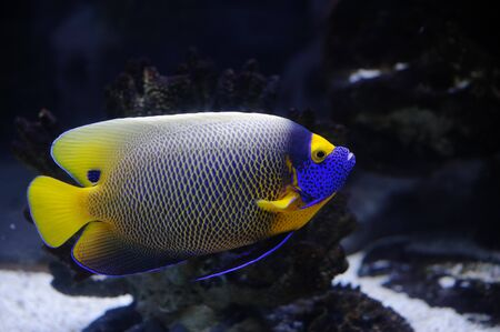 Angelfish in a Moscow Zoo aquarium photo