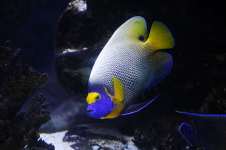 Angelfish in a Moscow Zoo aquarium Stock Photo - 8101252
