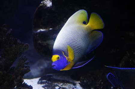 Angelfish in a Moscow Zoo aquarium Stock Photo - 8101252