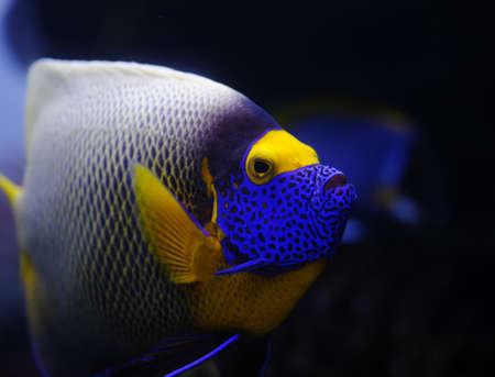 royal angelfish: Angelfish in a Moscow Zoo aquarium Stock Photo