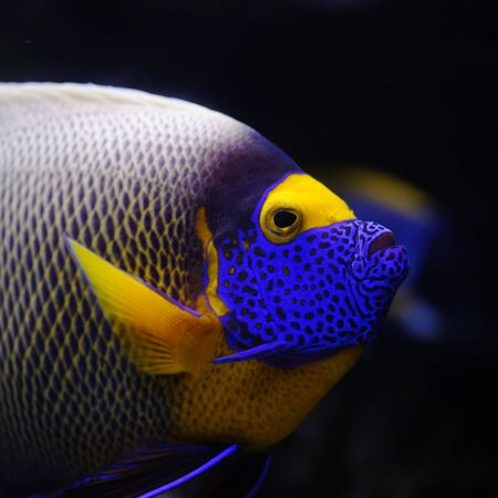 Angelfish in a Moscow Zoo aquarium Stock Photo
