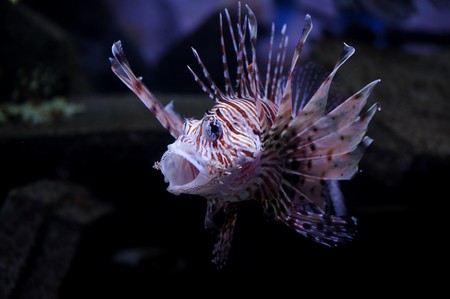 zebrafish: Lionfish in a Moscow Zoo aquarium