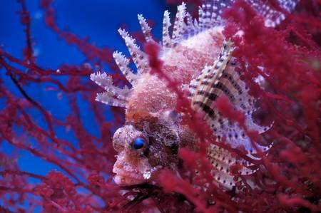 dragonfish: Lionfish (Dendrochirus brachypterus) in a Moscow Zoo aquarium
