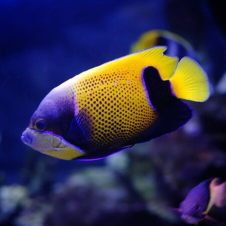 Majestic angel (Pomacanthus navarchus) in a Moscow Zoo aquarium Stock Photo - 8100890