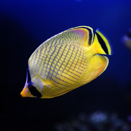 Yellow Butterfly fish (Chaetodon rafflesi) in a Moscow Zoo aquarium