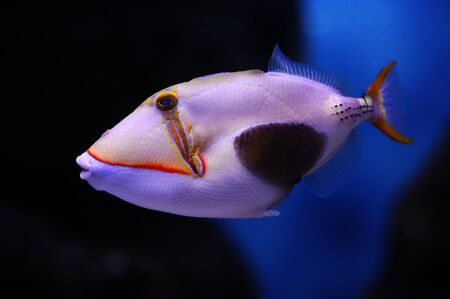Blackbelly triggerfish (Rhinecanthus verrucosus) in a Moscow Zoo aquarium Stock Photo - 8101034