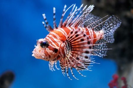 Lionfish (Pterois mombasae) in a Moscow Zoo aquarium Stock Photo - 8101346