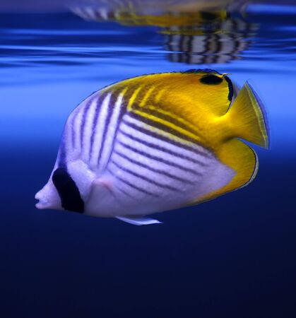 Threadfin Butterflyfish (Chaetodon auriga) in a Moscow Zoo aquarium Stock Photo - 8100736