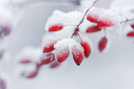 barberries: Barberries covered with ice and snow Stock Photo