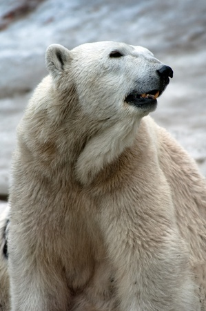 Polar bear sitting on a ground