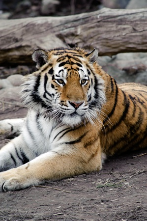 Siberian tiger lying on a ground, relaxing