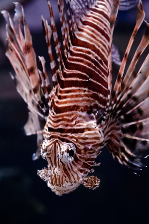 zebrafish: Lionfish portrait, closeup shot Stock Photo