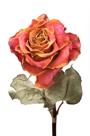 Single dry rose on a white background, isolated