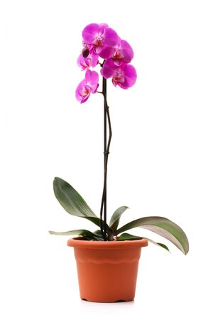 Pink orchid (Phalaenopsis) in a flowerpot, isolated, white background