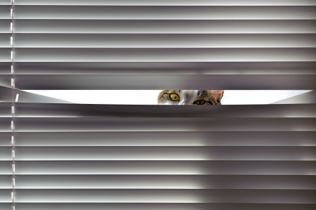 Curious cat looking through blinds
