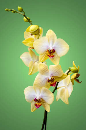 Yellow orchid (phalaenopsis) flowers on green background photo