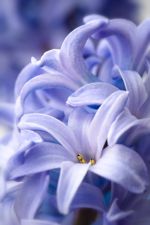Close-up image of blue hyacinth flowers. Abstract floral background. Stock Photo