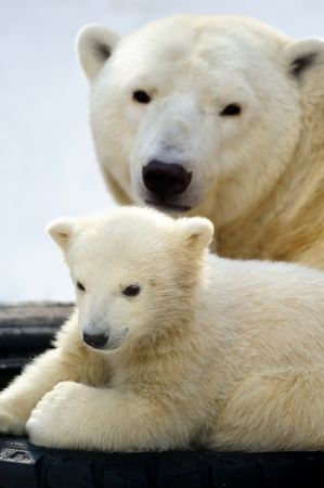 Little polar bear cub having a rest with  his mom