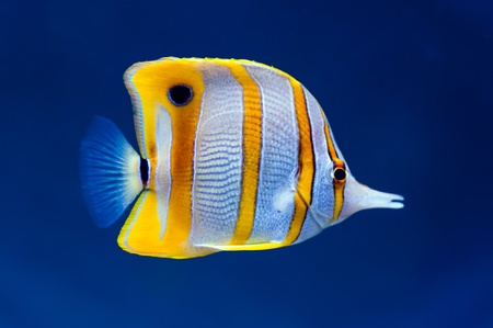 Copperband butterfly fish (Chelmon rostratus) on natural blue background