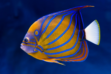 Bluering angelfish (Pomacanthus annularis) on natural blue background