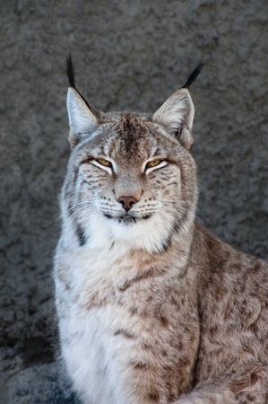 Lynx portrait Stock Photo - 12952517