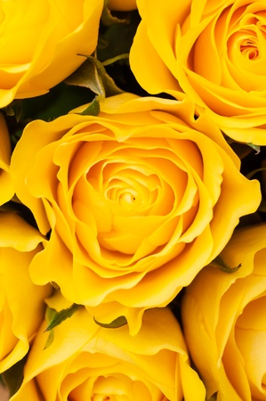 Group of yellow roses, close-up shot, floral background or wallpaper photo