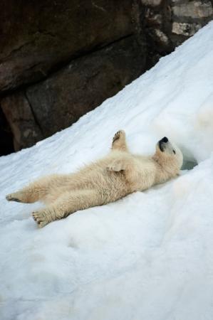 Small polar bear cub having fun on a snow 写真素材