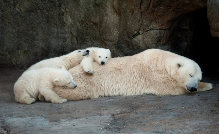 Polar she-bear having a rest with three small bear cubs 版權商用圖片