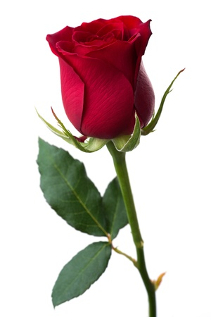 single red rose: Flowers: single red rose, isolated on white background