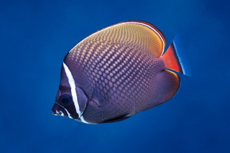 Sea life: exotic tropical coral reef redtail butterflyfish (Chaetodon collare) on natural blue background   Stock Photo