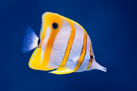 Sea life: exotic tropical coral reef copperband butterfly fish (Chelmon rostratus) on natural blue background