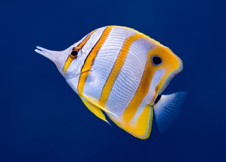 chelmon: Sea life: exotic tropical coral reef copperband butterfly fish (Chelmon rostratus) on natural blue background