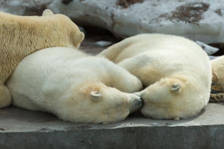 Animaux: Groupe d'ours polaires, la mère et les oursons, se reposer, dormir alltogether