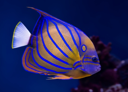 Sea life: exotic tropical coral reef bluering angelfish (Pomacanthus Annularis) on natural blue background