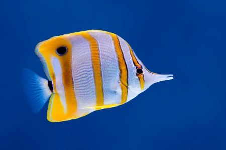 Sea life: exotic tropical coral reef copperband butterfly fish (Chelmon rostratus) on natural blue background   photo