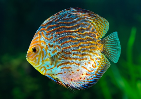 Aquarium: tropical decorative fish, Discus (Symphysodon spp.) on natural green background