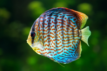 Aquarium: tropical decorative fish, Discus (Symphysodon spp.) on natural green background   photo