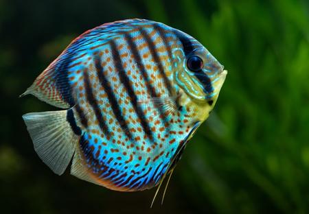Aquarium: tropical decorative fish, Discus (Symphysodon spp.) on natural green background
