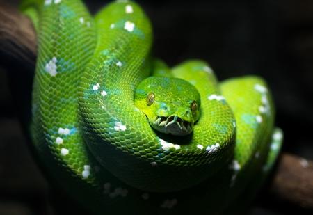 viridis: Green tree python  Morelia viridis , on a tree branch, dark background, selective focus, selective lighting