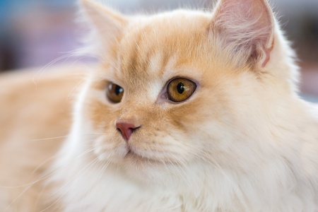 longhaired: Cats and dogs: relaxed orange-white cat, close-up portrait, selective focus, natural blurred background