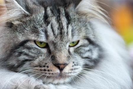 kurilian bobtail: Cats and dogs: gray-white Kurilian Bobtail cat, close-up portrait, selective focus, natural blurred background