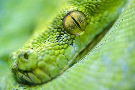 vivarium: Animals: extreme close-up portrait of green tree python, selective focus, shallow depth of field