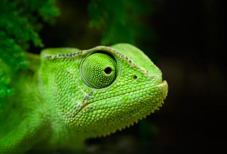 jaszczurka: Zwierzęta: młodych zielonych Cape karzeł kameleon, bradypodion pumilum, patrząc w przyszłość, Close-up portret na ciemnym tle