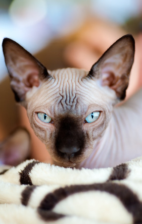 eyes opened: Animals: Sphynx cat, eyes opened, looking at camera, close-up shot, blurred background Stock Photo
