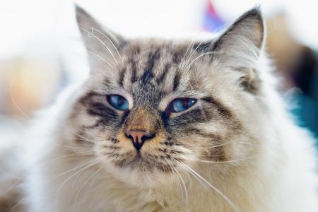 Animals: close-up portrait of blue-eyed Ragamuffin cat, blurred background
