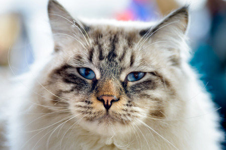 Animals: close-up portrait of blue-eyed Ragamuffin cat,\ looking at camera, blurred background